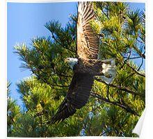 American Bald Eagle Wingspan Poster