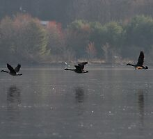 Geese Over Barton's Cove by Enid  Santiago Welch