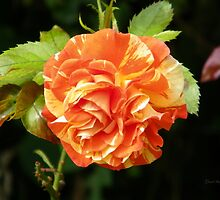 Multi Colored rose by LoneAngel