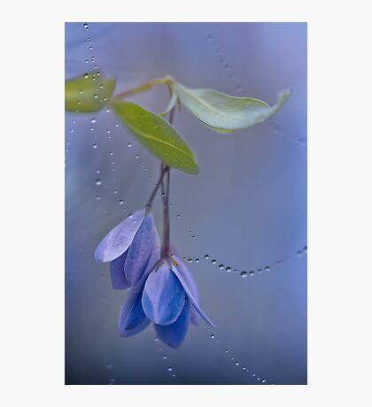 Australian Bluebell Photographic Print