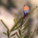 Colored Kestrel by JamesA1