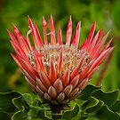 Protea by louise