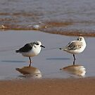 Plovers by beavo
