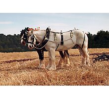 Shire Horse Pair Photographic Print