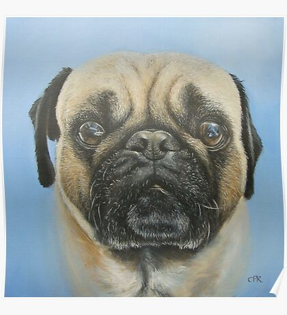 Pug on blue background Poster