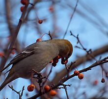 Female Pine Grosbeak 2 by Thomas Young