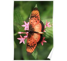 Natal Acraea Butterfly (St Lucia), South Africa Poster