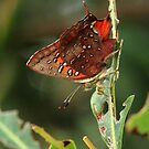 Dark-banded Scarlet Butterfly, (Mandawe Cross, Eshowe) South Africa 2012 by Michael Field