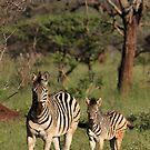 Plains Zebra and foal, early morning light (Mkuze Reserve), South Africa 2012 by Michael Field