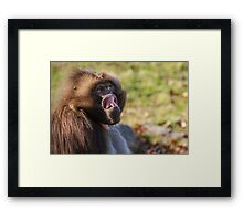 Male Gelada trying to intimidate me Framed Print