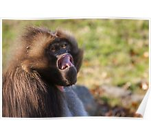 Male Gelada trying to intimidate me Poster