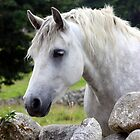 Connemara Pony looking over an Irish stone wall by ConnemaraPony