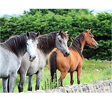 Connemara Ponies in the field Photographic Print