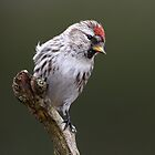 Common Redpoll On Green by Gary Fairhead