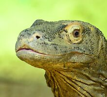 Komodo Dragon ..... watch it ...... by Jacqueline van Zetten