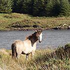 Connemara Pony in the Irish Countryside 2 by ConnemaraPony