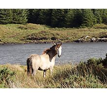 Connemara Pony in the Irish Countryside 2 Photographic Print
