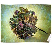 Hydrangea Still Life Poster