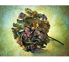 Hydrangea Still Life Photographic Print