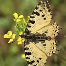 Eastern Festoon Butterfly (Golemo Boliowo Village) Bulgaria 2012 by Michael Field