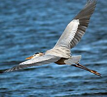 Blue Heron Flight by RBuey