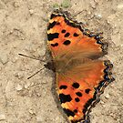 Large Tortoiseshell butterfly on dirt path ( Batak Lake) South-West Bulgaria 2012 by Michael Field