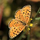 Lesser Spotted Fritillary, Bansko meadows, South-West Bulgaria 2012 by Michael Field