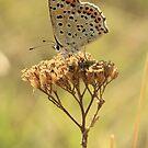 Butterflies of Summer - Bulgaria by Michael Field