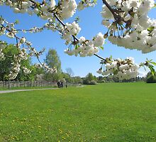 Spring Blossoms in Sweden by Susan Wellington