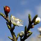 Ladybird with Blossom by LydiaWoods