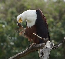 Fisheagle grooming - Kruger National Park Photographic Print
