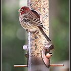 One Fat House Finch by Mikell Herrick