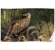 Vultures Feeding - Kruger National Park Poster