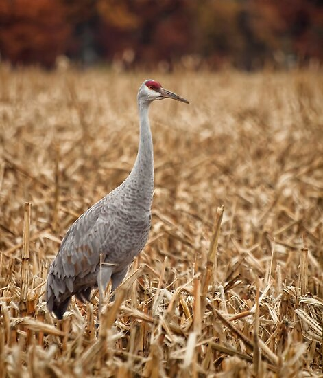 Lone Sandhill Crane by Thomas Young