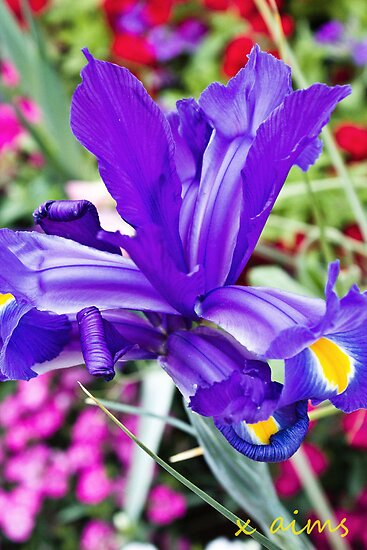 Purple Iris  by -aimslo-