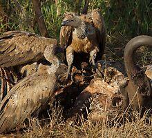 Vultures on Lion Kill - Kruger National Park by eyedocbrian