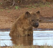 Hyena taking a break in the Pool - Kruger National Park by eyedocbrian