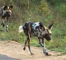 African Wild Dog - Kruger National Park by eyedocbrian