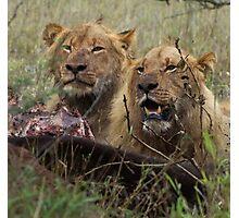 Lions Eating - Kruger National park Photographic Print