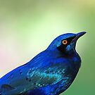 Greater blue eared starling profile by jozi1