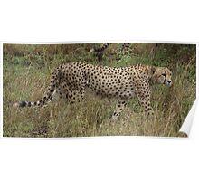 Cheetah - Kruger National Park Poster