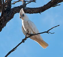 Corella by Ginter