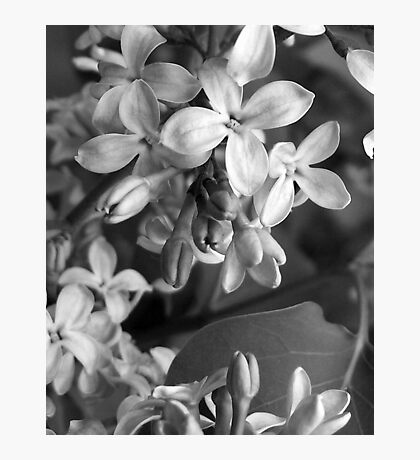 The Grayscale Lilac Photographic Print