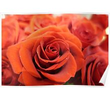 Beautiful red rose flower photography. Poster