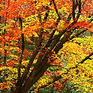 BEECH TREE,AUTUMN by Chuck Wickham