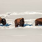American Bison Taking a Break by Sue Smith