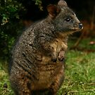 Pademelon by Will Hore-Lacy