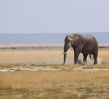 Bull Elephant Crossing the Plain, Amboseli, Kenya by Carole-Anne