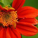 Red Flower by Amran Noordin
