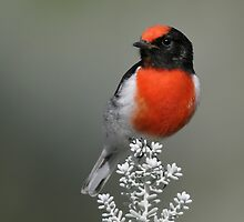 Red-capped Robin by Rob Drummond